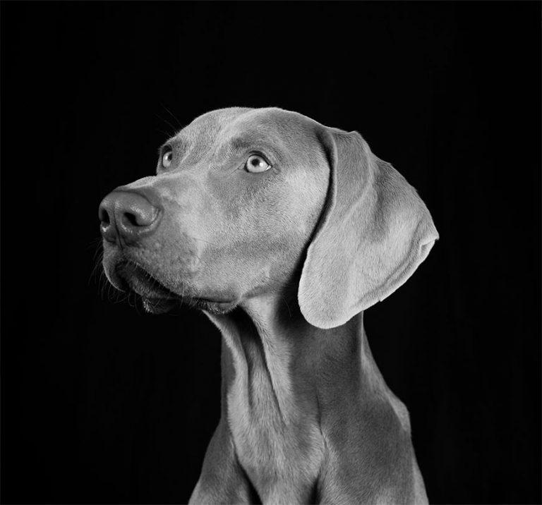 Canine bw