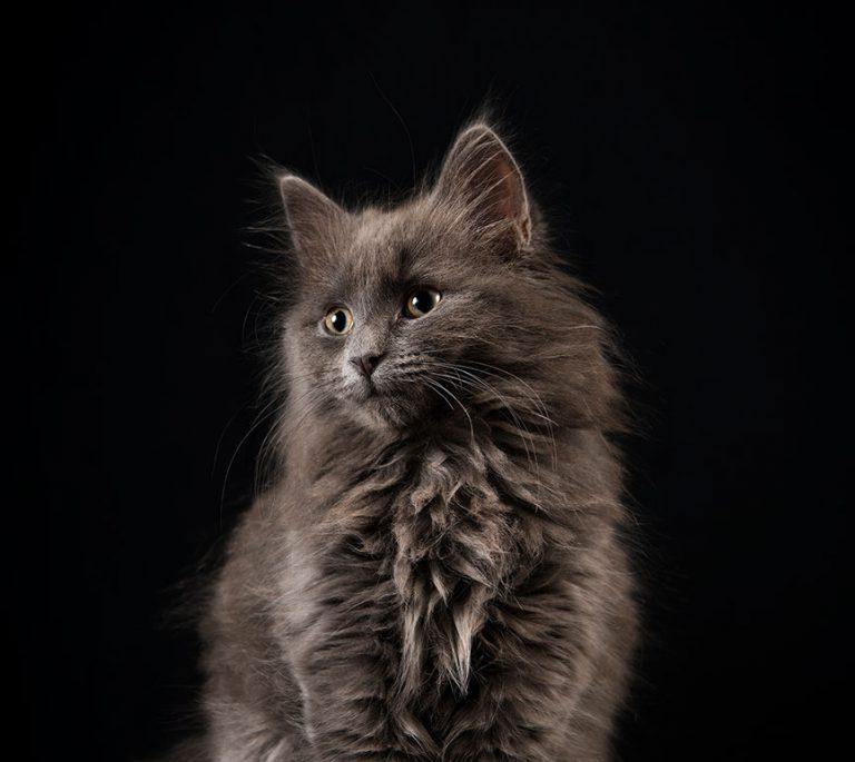 Feline colour